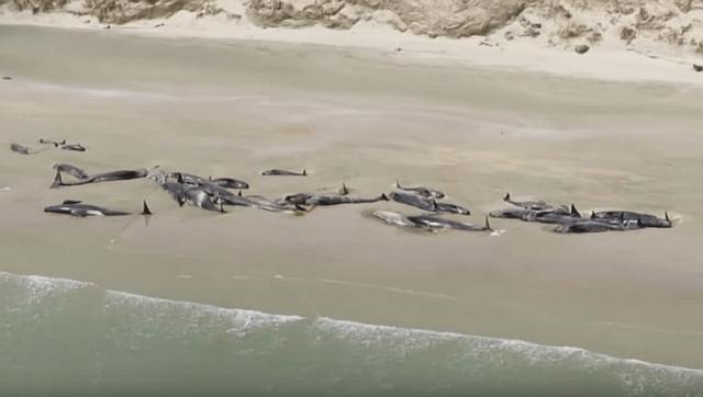 Više od 140 kitova se nasukalo na Novom Zelandu i uginulo (VIDEO)