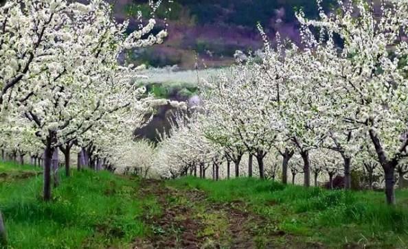 Procvetali voćnjak