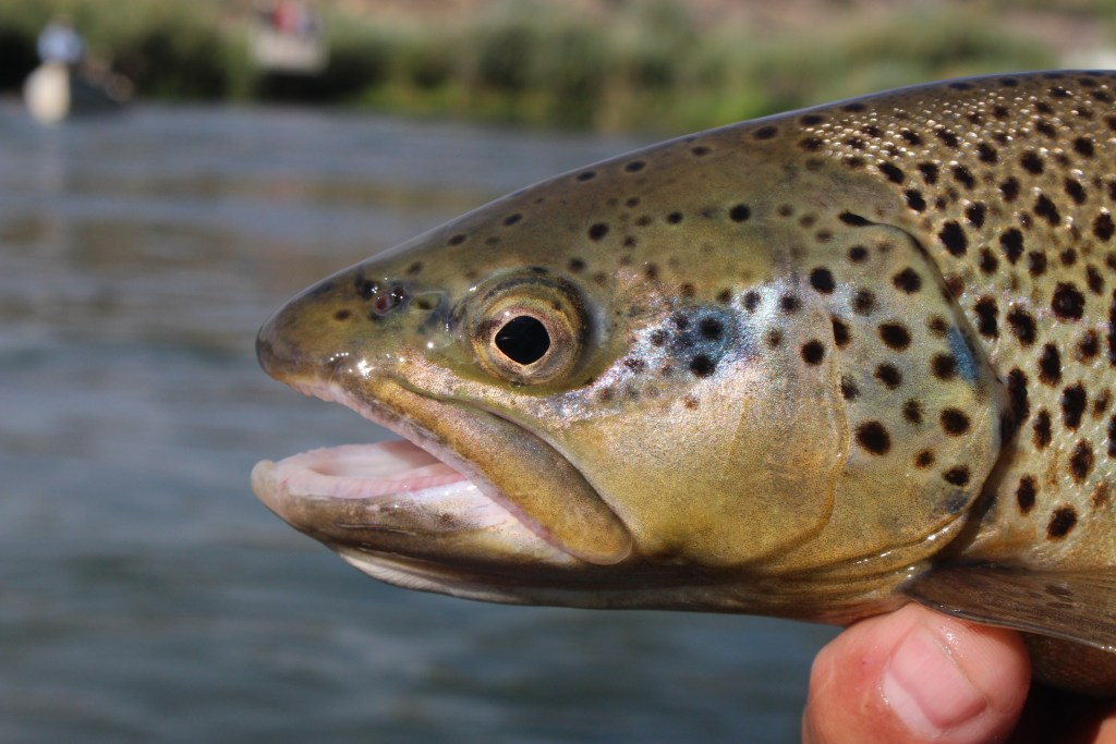 brown trout, fly fishing in Farmington, New Mexico on the San Juan River