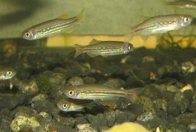 90 day old Danio meghalayensis fry