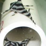 Zebra Pleco - L046