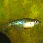 Male Ricefish