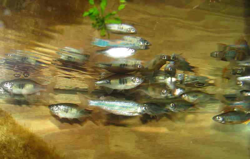 Mixed Danios & Devarios