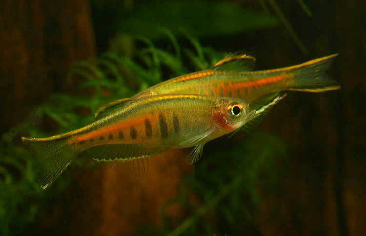 Spawning Danio choprae