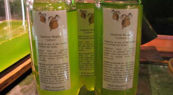 Daphnia magna starter cultures