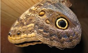 Butterfly Buho - Costa Rica - Photo by Matthew Kritzer