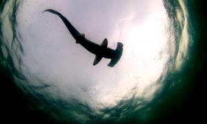 Shark in the water  - Costa Rica - Photo by David García