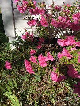 Ballentine-Spence House Spring 2017 - azaleas