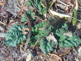 Rhubarb Plant 3