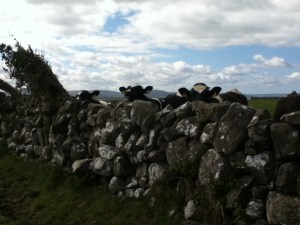 Cows. Image of cows in Ballyyahoo