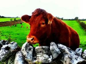 brown- cow