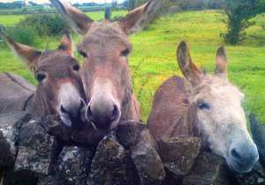 three donkeys illustrating children's stories from Ireland's magical town of Ballyyahoo