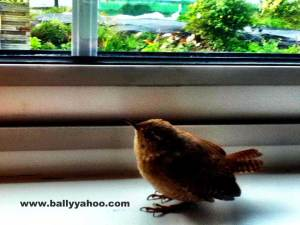 little bird on a window ledge illustrating a children's story about a little bird from Ireland's Ballyyahoo.