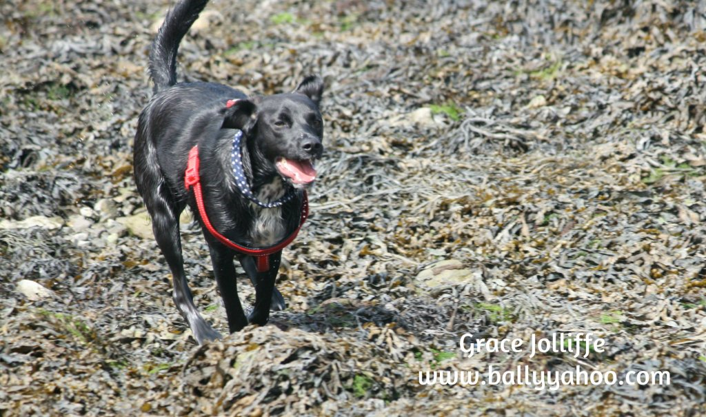 black labrador running llustrating a children's story about dogs
