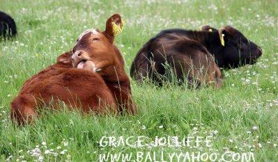 two-calves