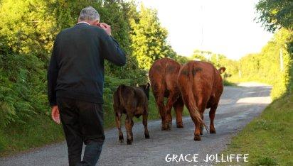 cows walking followed by farmer