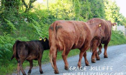 cows-walking-up-lane