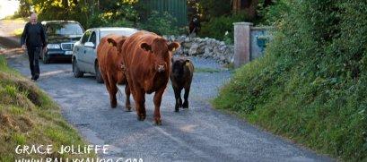 cows-walking