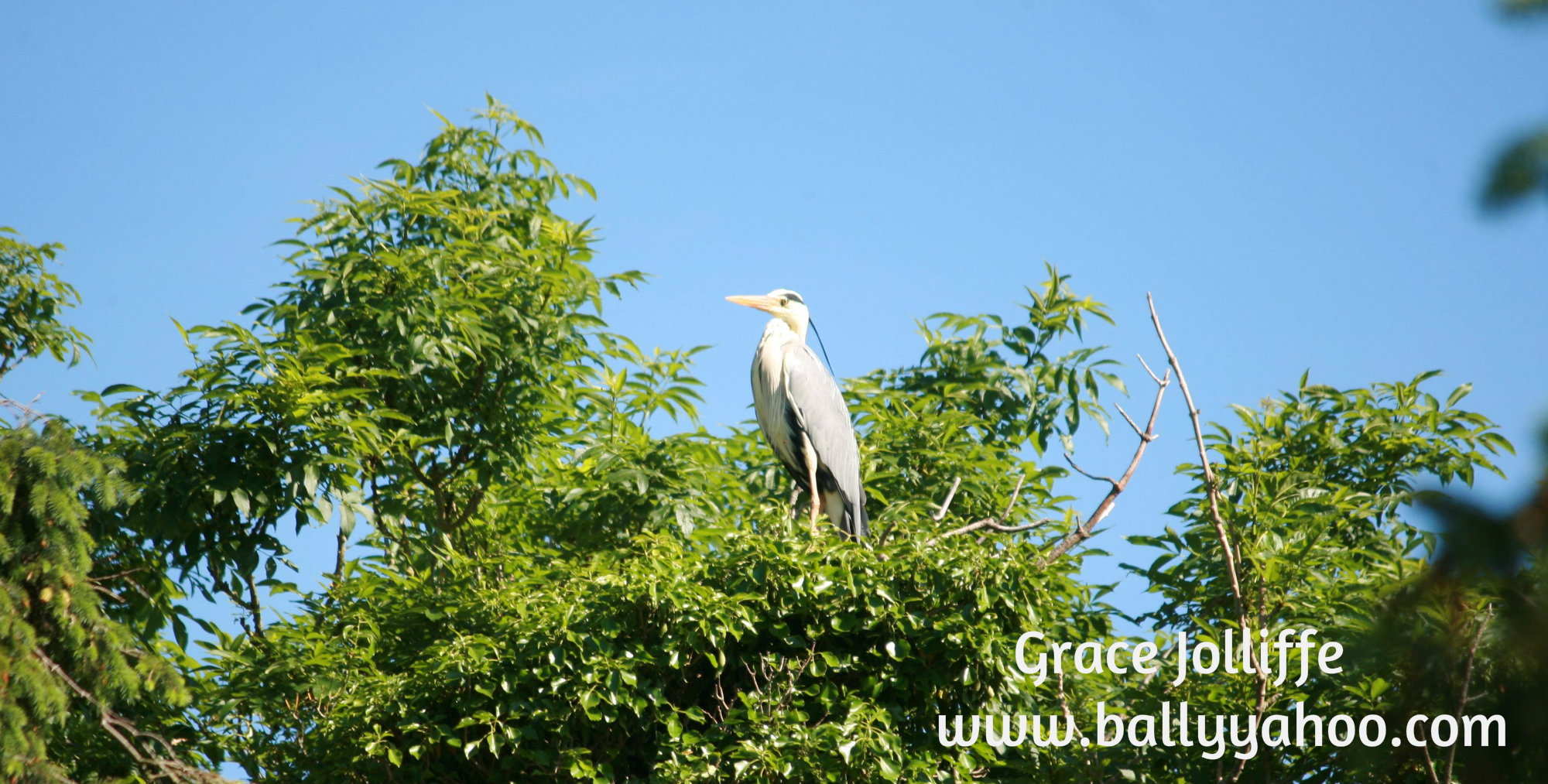 heron standing in a tree - illustrating a children's nature story page from the magical town of Ireland's Ballyyahoo