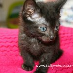 black kitten illustrating stories about the creatures of Ireland's magical town of Ballyyahoo