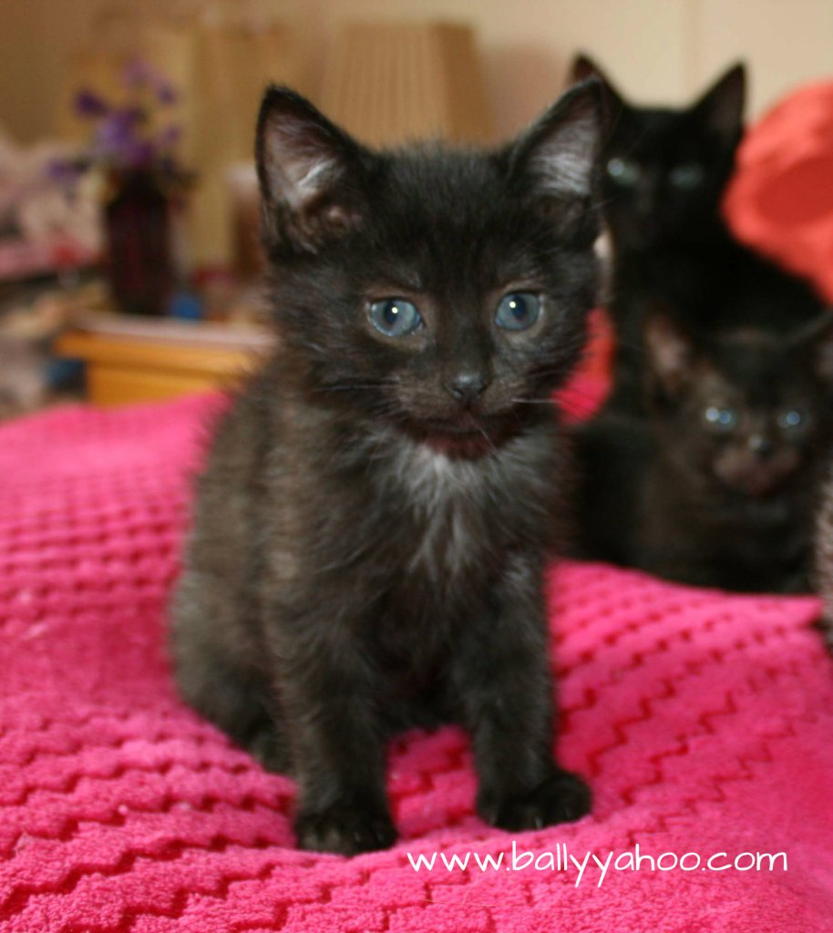 three black kittens illustrating a story from Ireland's Magical town of Ballyyahoo
