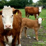 brown cows illustrating stories about the creatures of Ireland's magical town of Ballyyahoo