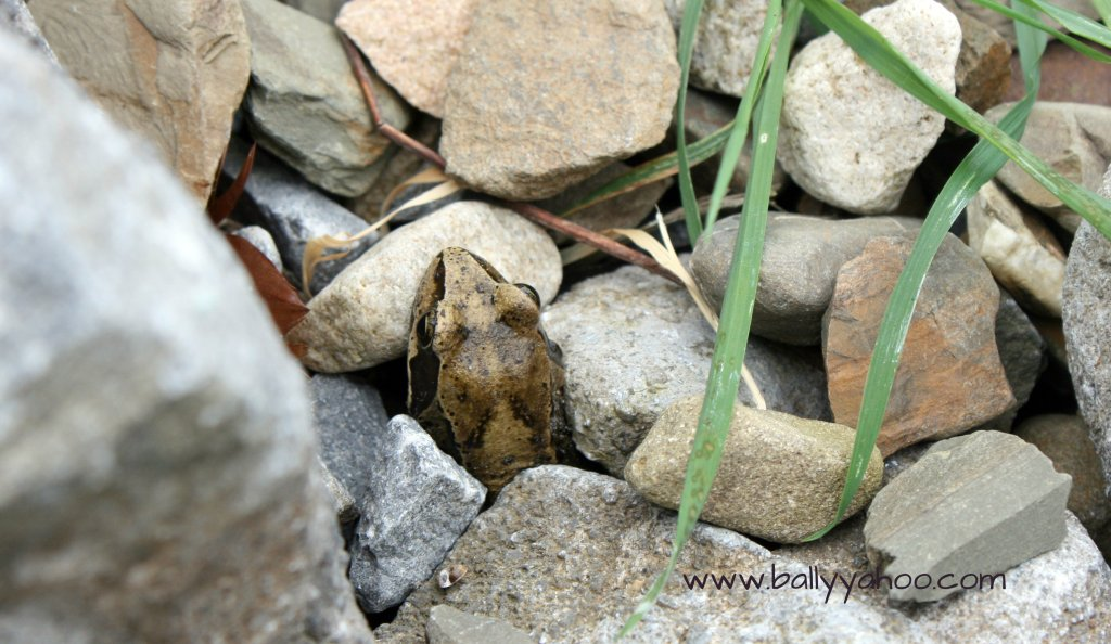 Common frog peeping out through stones - illustrating a children's nature story with information about frogs
