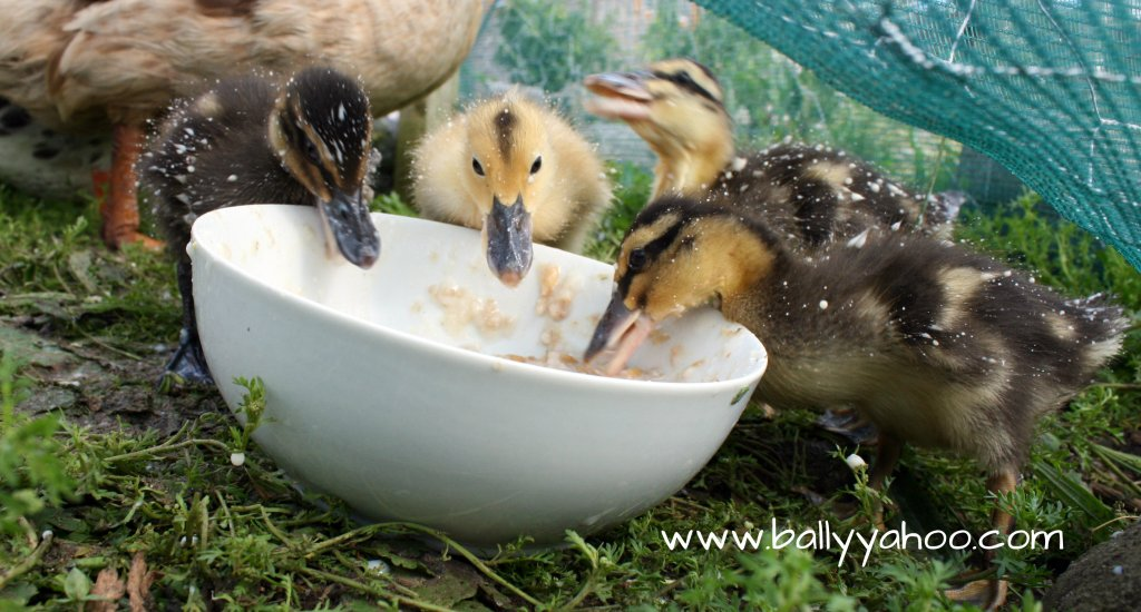 four ducklings eating from a bowl - illustrating a nature story for children about ducks
