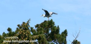 heron about to take flight illustrating an article about Irish birds
