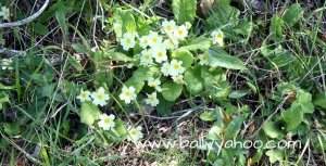 primroses under hedgerow illustrating a story about hedgerows for childre