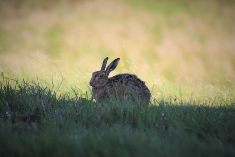 OCH hare edited