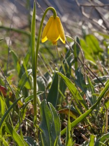 yellowbells at Rowena Crest, March 2014