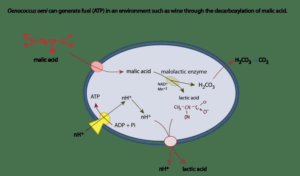 how malolactic fermentation produces ATP in O. oeni