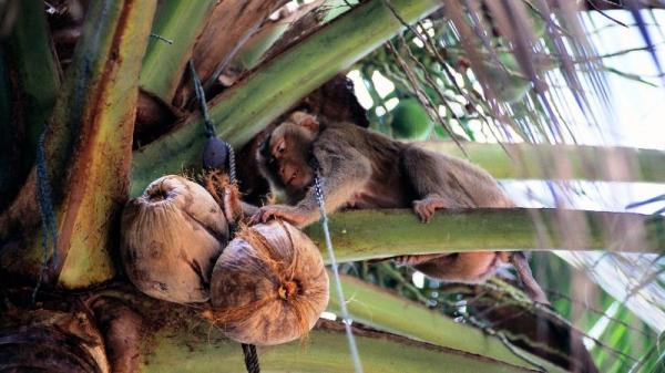 Живые машины по сбору кокосов. Торговые сети выступают против продуктов, собираемых обезьянами