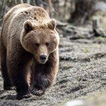 Внимание! На популярном латвийском пляже прогуливается медведь