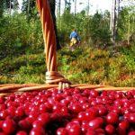 За что в лесах Латвии штрафуют ягодников–нелегалов