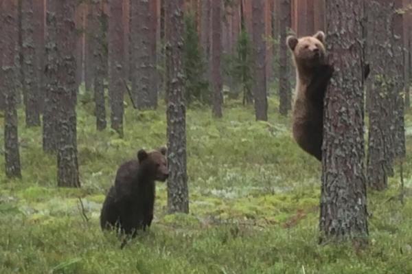 Возможно, они сироты: новые кадры медвежат в Латвии умилили сеть (+ФОТО, ВИДЕО)