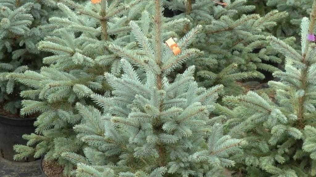 Новый год без елки? Торговцы не знают, какие именно ограничения надо соблюдать