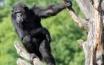 У шимпанзе Бетти из Таллиннского зоопарка наблюдаются проблемы со здоровьем