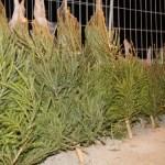 В столичных районах Ласнамяэ, Мустамяэ и Кристийне открыты пункты для сбора елок