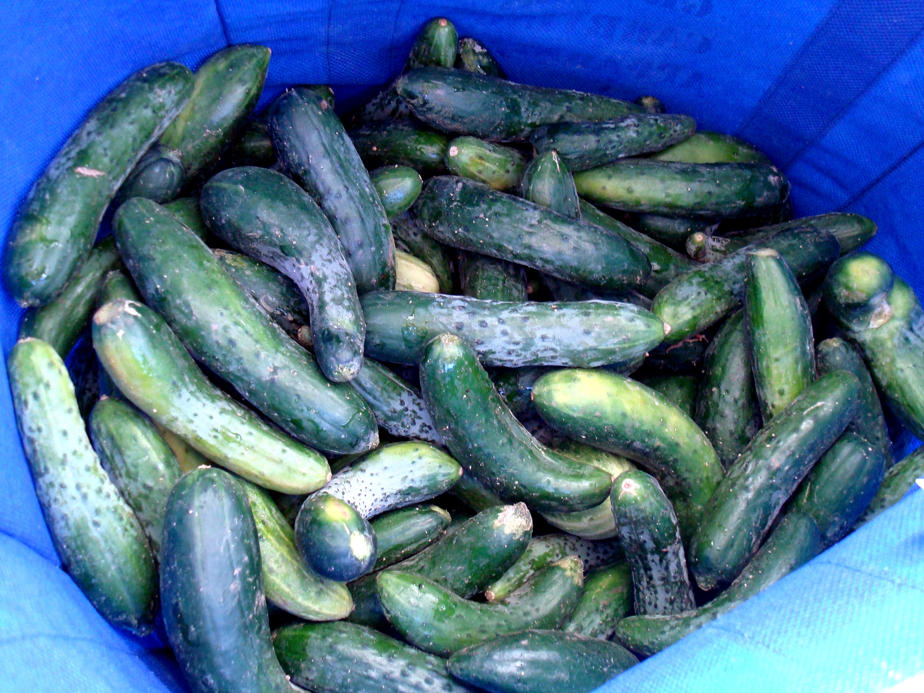 What would a girl really need 20 lbs. of cucumbers for?