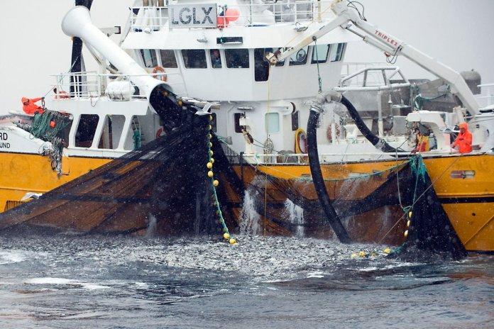 Fishing for spring spawning herring (Clupea harengus), Moere coastline, Norway, February 2009