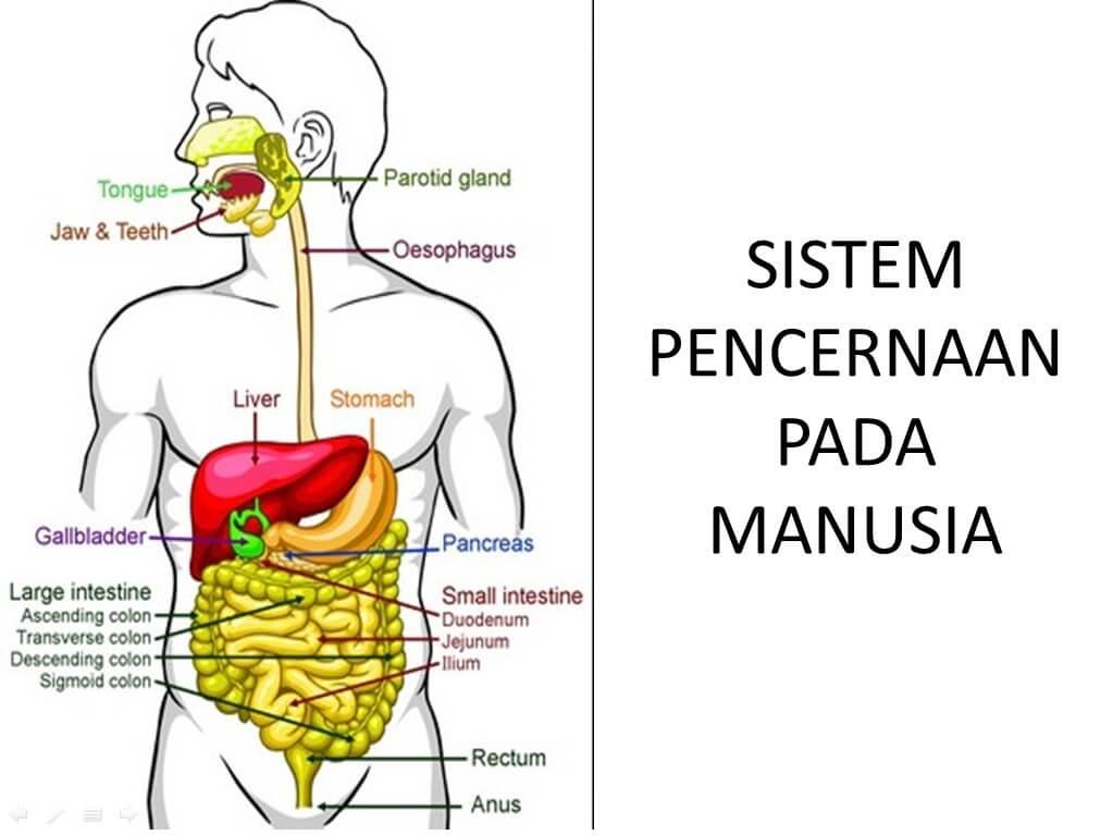 Organ Organ Sistem Pencernaan Pada Manusia Lengkap Dengan Keterangannya