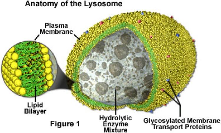 bagian-bagian sel hewan