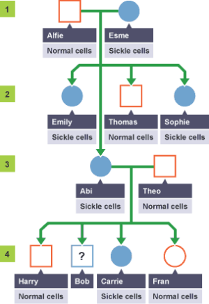 BBC Bitesize  GCSE Biology  Geic diagrams and