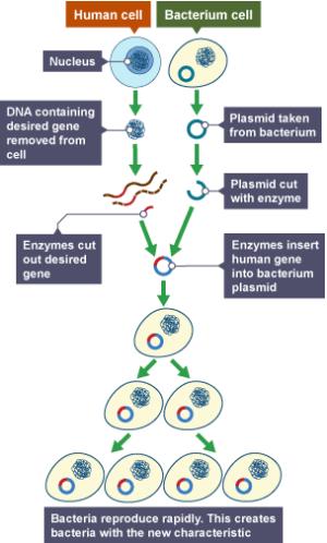 BBC Bitesize  GCSE Biology  Geic modification and