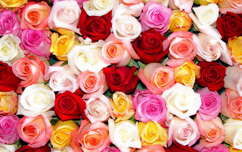 Rose Color Meanings House Of Flowers