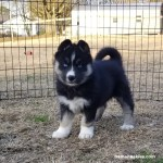 Agouti Female Husky Puppy For Sale Siberian Husky Puppies For Sale