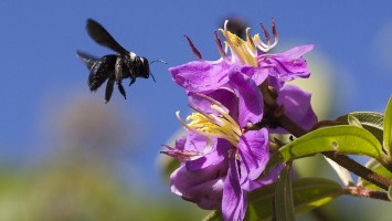 Carpenter bees macro photography