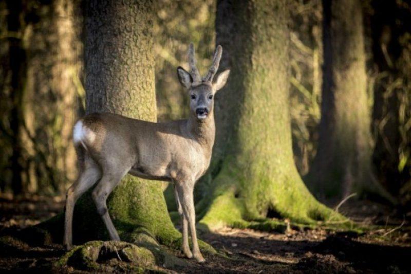 Cervo al parco naturale di Amburgo